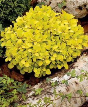 Berberis thunbergii 'Special Gold'