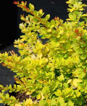 Berberis thunbergii 'Sunsation'