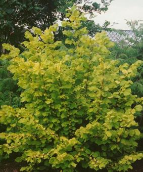 Corylis avellana L.