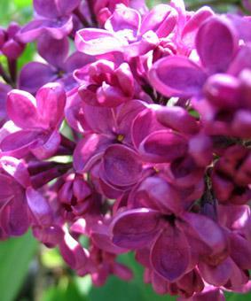 Syringa vulgaris 'India'