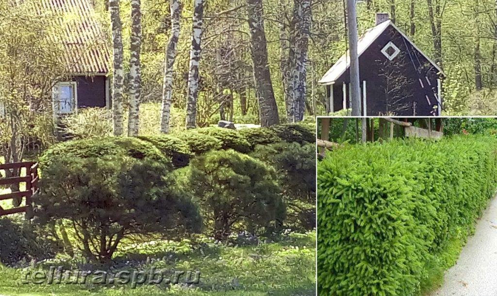 Стриженые живые изгороди из сосны или ели фото