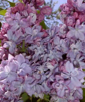 Syringa vulgaris 'Katherine Havermeyer'