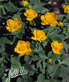 Trollius chinensis 'Morning Sun'