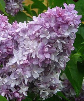 Syringa vulgaris 'Nadhezda'