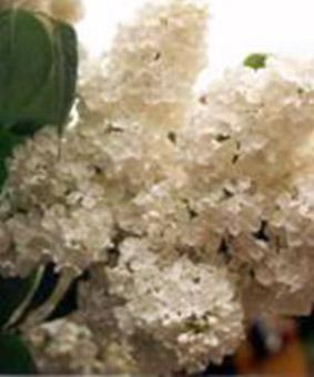 Syringa vulgaris 'Petit Prince'