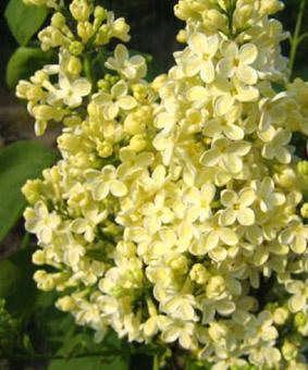 Syringa vulgaris 'Primrose' ('Yellow Wonder')