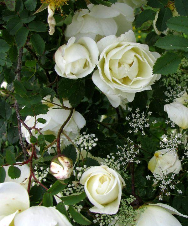 Роза бедренцеволистная цветение фото