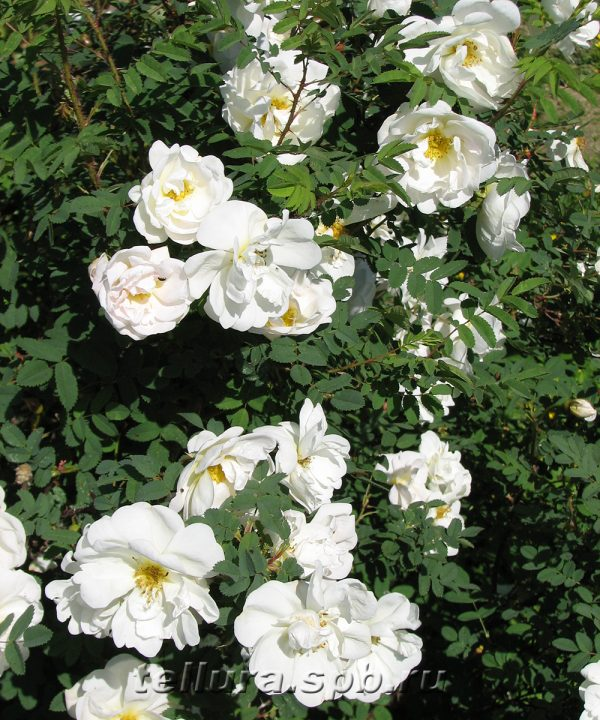 цветение розы бедренцеволистной