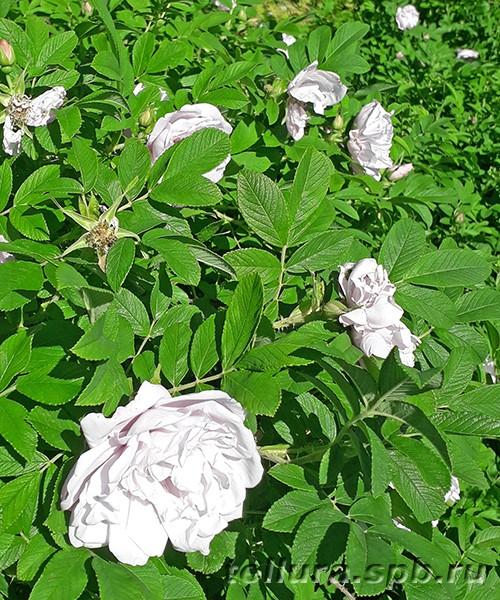 Роза Scheekoppe (Snow Pavement) фото цветущего куста