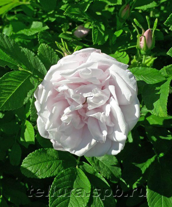 Роза Сноу Павмент (синоним Shneekoppe) фото цветка крупным планом