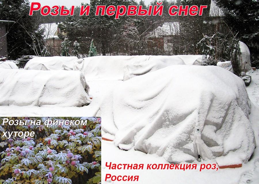 фото розария после первого снега в русском и финском саду