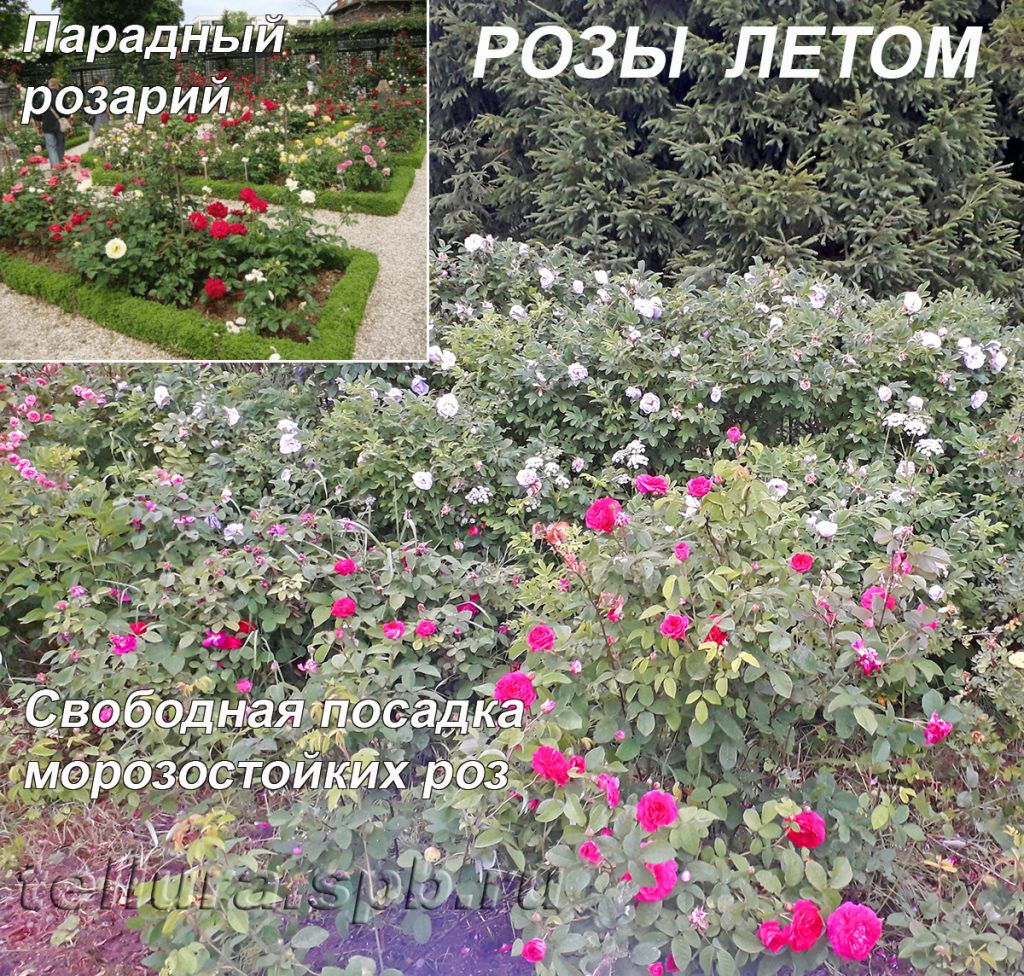 Свободная посадка морозостойких роз и классический розарий - фото