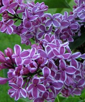 Syringa vulgaris 'Sensation'