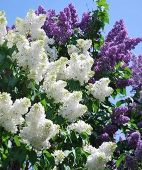 Syringa vulgaris & S.v. Alba