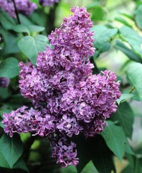 Syringa vulgaris 'Ruhm von Horstenstein'