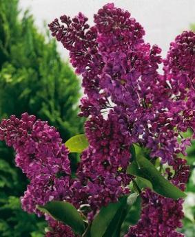 Syringa vulgaris 'Souvenir de Louis Spaeth'
