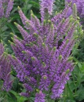 Veronica 'Plumosa Lavender Plume'