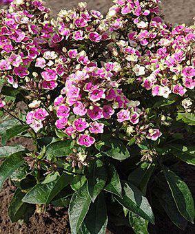 Phlox paniculata 'Aureole'