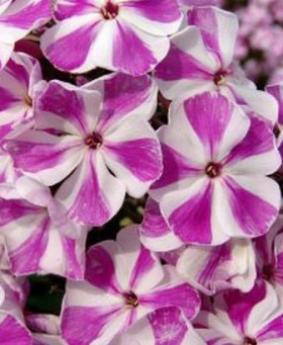 Phlox paniculata 'Candy Twist'
