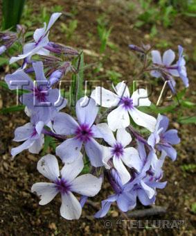 Phlox divaricata 'Chattachoochee'