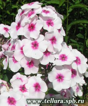 Phlox paniculata 'Cinderella'