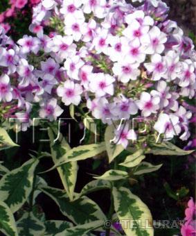 Phlox paniculata 'Creme de la Mente'