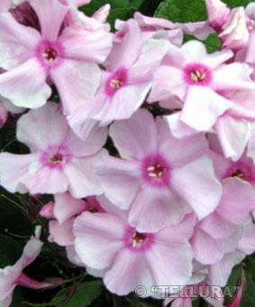 Phlox paniculata 'Early Star'