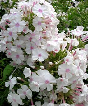 Phlox maculata 'Omega'