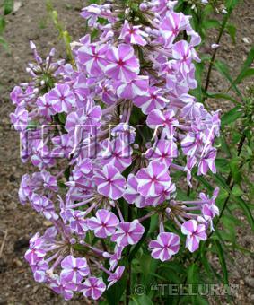 Phlox maculata 'Natasja'