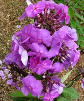 Phlox paniculata 'Ametyst'