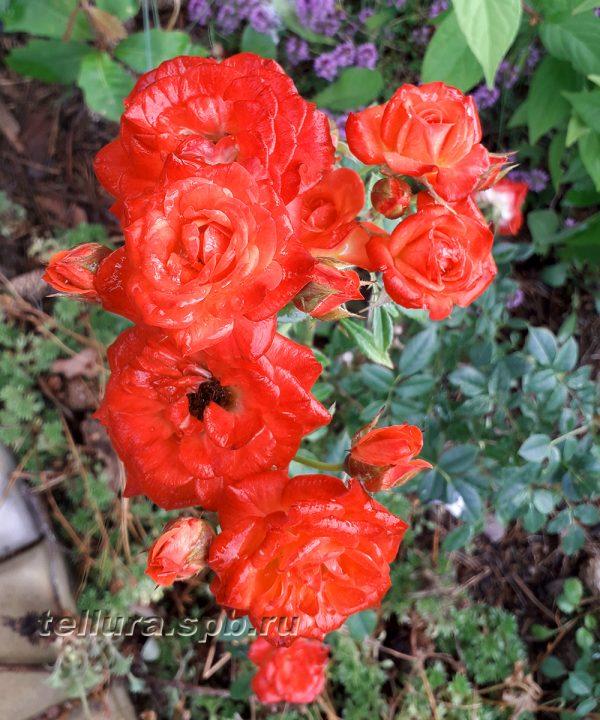 Роза Оранж Микадо фото цветущего куста