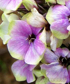 Phlox paniculata 'Cherbet Coctail'