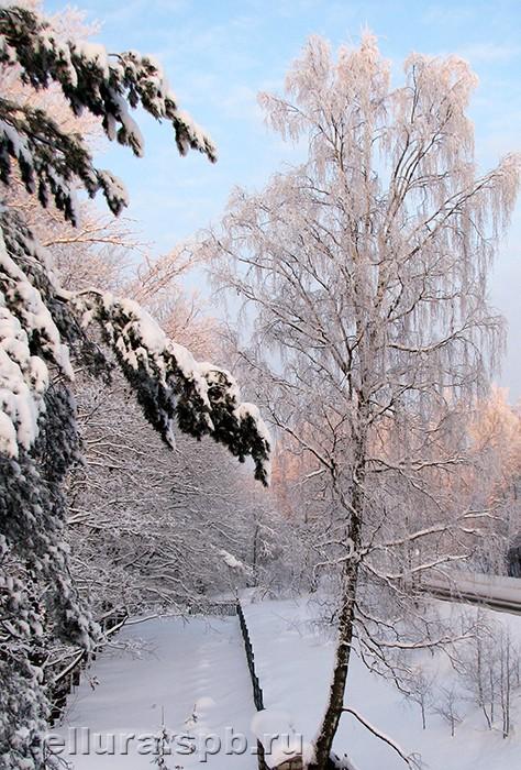 Береза зимний силуэт фото