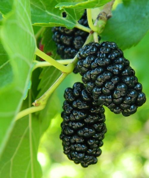 Шелковица Чёрная Баронесса фото ягод