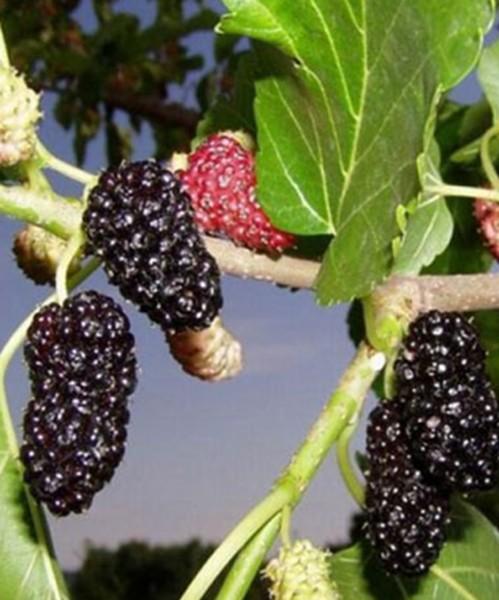 Шелковица Смуглянка фото плодов