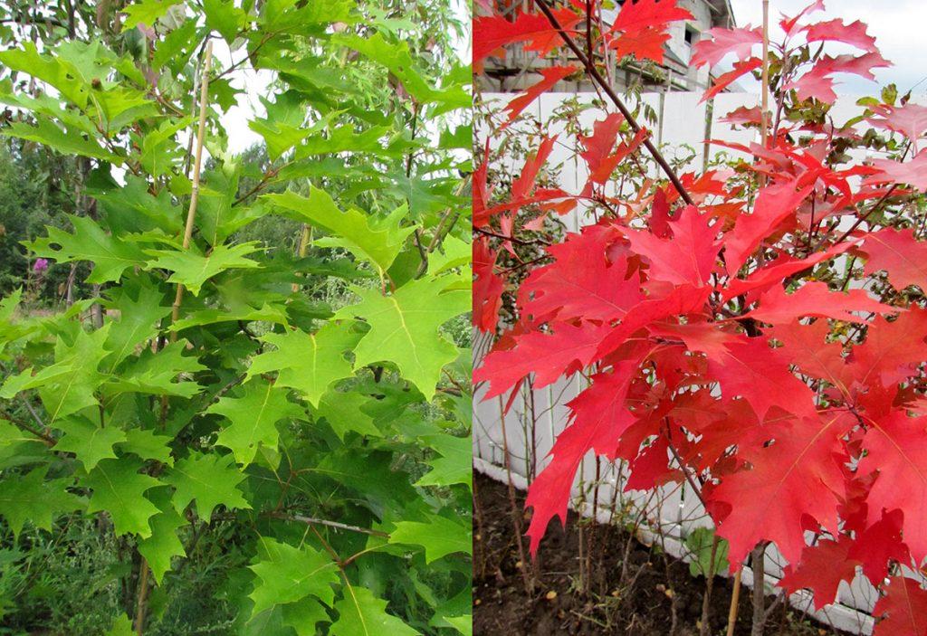 Дуб красный окраска листьев летом и осенью фото