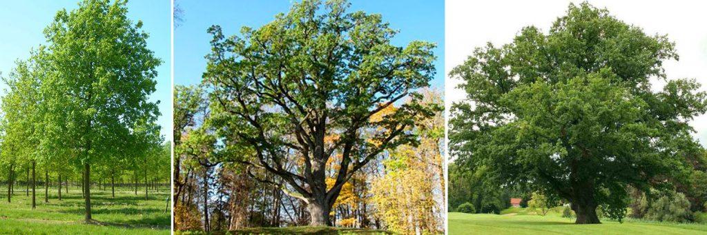 Размеры дуба на садовом участке
