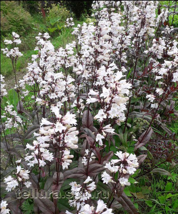Пенстемон Хаскет Ред фото цветущих растений в массе