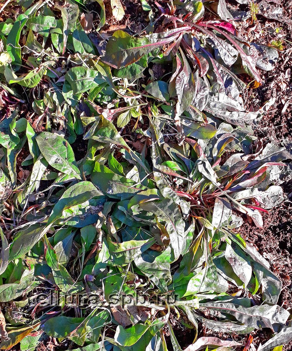 Пенстемон Хаскер Ред зимующие вечнозеленые листья фото