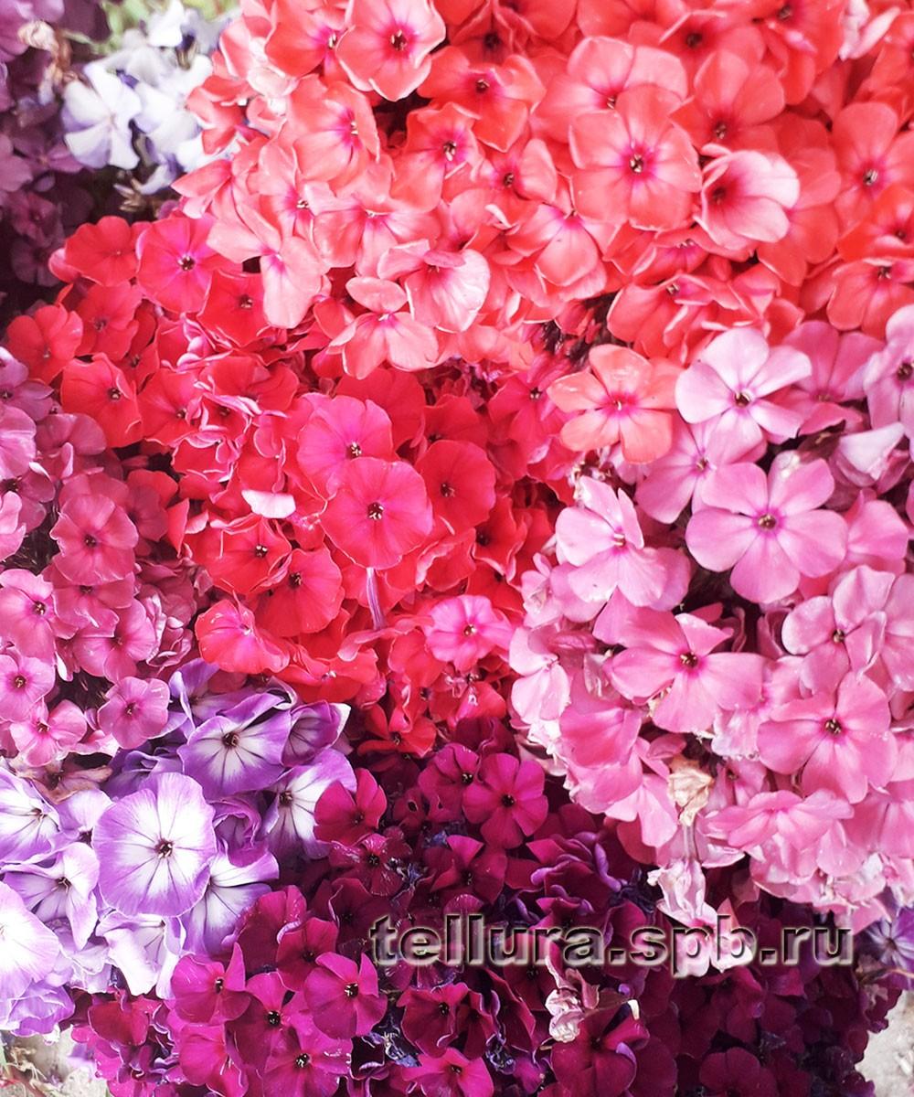 Флоксы смесь цветов