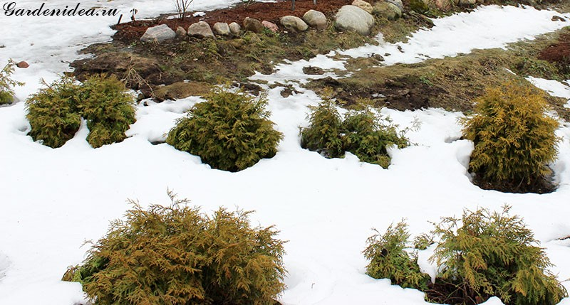 шаровидные туи после зимы