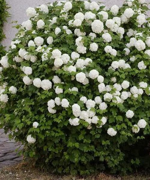 Viburnum roseum Boule de Neuge