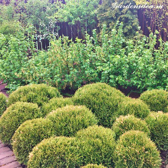 как посадить смородину красиво