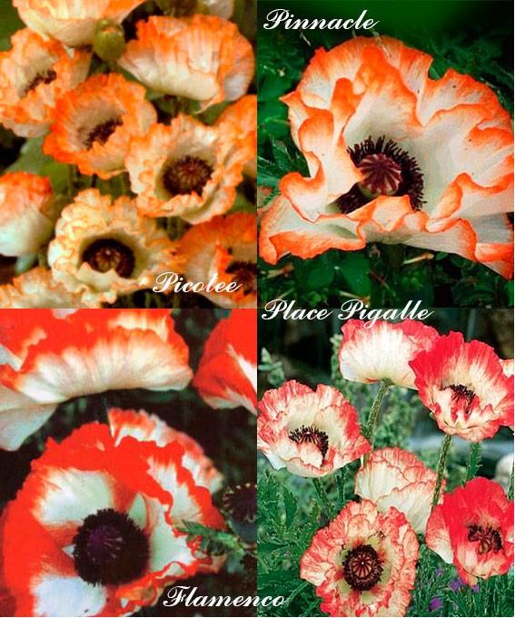 Сорта мака восточного с окраской пикоти белая с оранжевым/красным