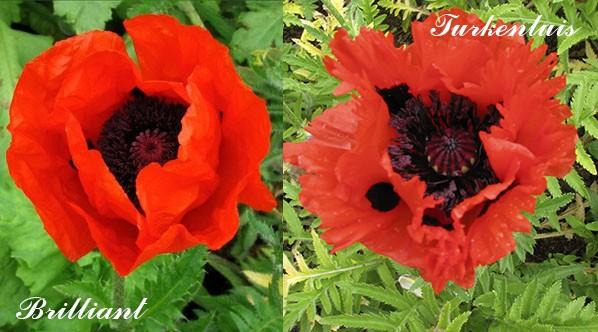 Сорта гибридного мака с красными цветками