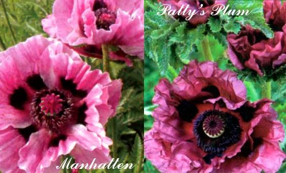 Популярные сорта мака с сиреневыми и лиловыми цветками