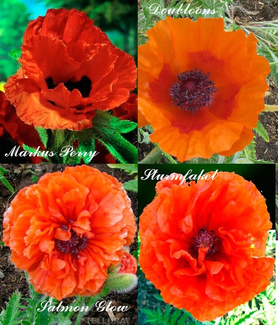 Оранжевые маки сорта с простыми и махровыми цветками