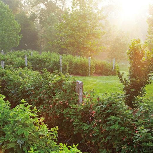 красивая посадка ягодных кустов в виде изгороди