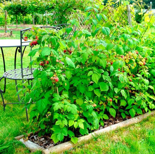 как красиво посадить ягодные кусты