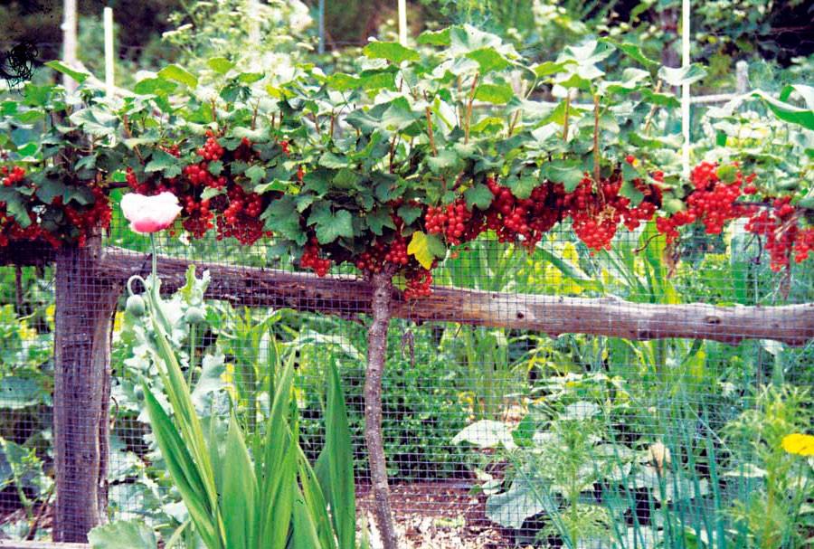 как красиво посадить красную смородину